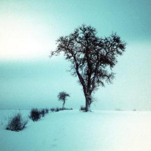 Ein silhouettenhafter, winterlich kahler birnbaum in verschneiter Szenerie. Eine niedrige Hecke führt von links fluchtend am Baum vorbei.