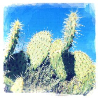 Nahaufnahme von Kakteeen mit runden, scheiebnartigen Blättern. Vor blauem Himmel.