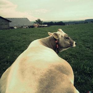 Der Blick folgt dem Rücken einer Kuh bis zum ins Profil gedrehten Kopf. Die Kuh trägt ein Halsband mit der Nummer 4 und 22. Im Hintergrund ein mit Solarzellen belegtes Scheunendach.