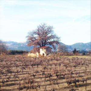 Blick über ein bräunliches Rebenfeld auf einen weit gefächerten Baum, vor dem ein Weinberghaus steht.