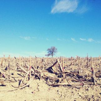 Ein abgeerntetes Maisfeld vor hellblauem Himmel. Am Horizont ein Obstbaum.