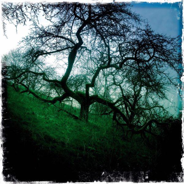 Ein grünlich bläuliches Bild. Apfelbaum mit weit ausragenden Ästen, unbelaubt an einem fast 45 Grad von links nach rechts abfallenden Hang.