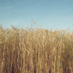 Frühlingshaftes, halbreifes Getreidefeld streckt bis über die Bildmitte die Ähren in blassblauen Himmel.