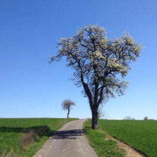 Blick einen schmalen Teerweg entlang, zu dessen Rechten ein blühender Birnbaum steht. Nahe des Fluchtpunkts am Horizont ein verkrüppelter Apfelbaum, winzig im Vergleich. Der Himmel blau. Grünkeimende Felder.