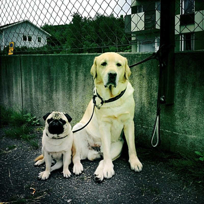 Ein großer Hund rechts, angeleint neben einem kleinen Hund vom Typ Mops sitzem vor einer hundesitzgrößehohen betonmauer, auf der Maschendrahtzaun gespannt ist.