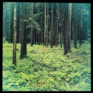 Die obere Hälfte des quadratischen Bilds zeigt Fichtenstämme im lichten Wald, unten ist der Waldboden spärlich begrünt. Das Bild hat einen schwarzen Rand.