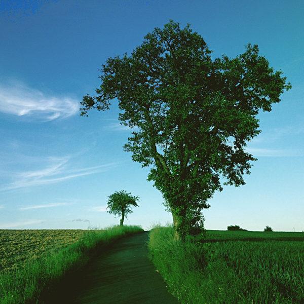 Mit einem leichten Grünstich und üppigem Grasbewuchs zeigt sich der untere Teil des Bilds, aus dem ein Birnbaum mit sattgrünen Blättern in den blauen Himmel ragt. Der Weg daneben fluchtet auf einen Apfelbaum.