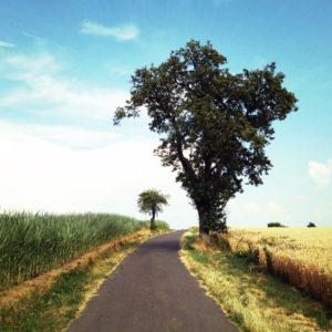 Birnbaum am Wegrand neben reifem Getreidefeld und auf der anderen Wegseite, einem Maisfeld
