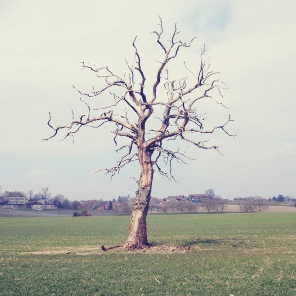 Ein kahler Baum mit deutlich abgestorbenen Ästen vor einem blassen, winterlichen Feld.