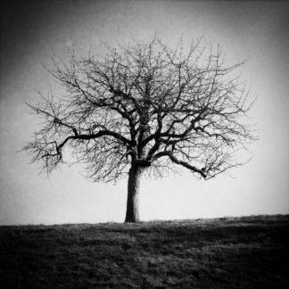 Ein schwarz-weiß Bild eines unbelaubten Obstbaums.