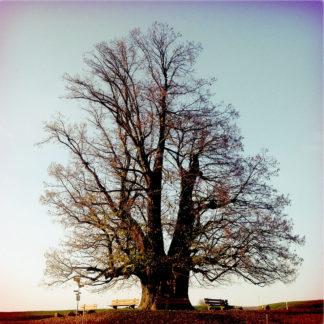 Auf einem schmalen Streifen Erde mit Parkbänken rings um einen wuchtigen Stamm erhabt sich eine 800jährige Linde mit kahlem Geäst in den Himmel. Fehlfarbenbild bräunlich bis violett, leicht vignettiert.