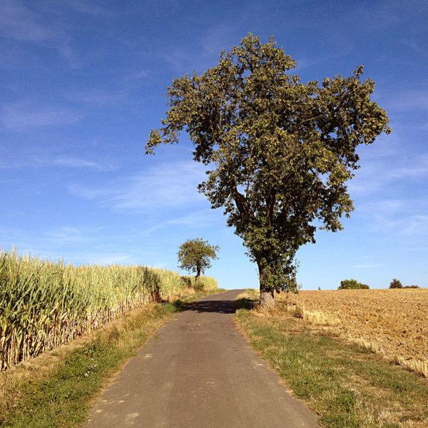 Vor blauem Himmel schaut man einen schmalen Teerweg hinauf, an dem rechts ein Birnbaum steht, ein abgeerntetes Getreidefel. Links wächst Mais.