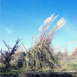 Ein riesiger Büschel Schilfgras wiegt im Wind.