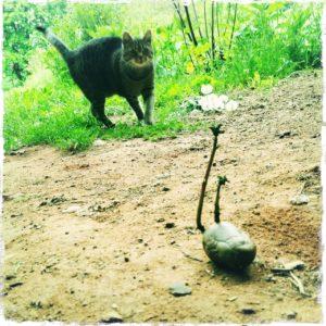 Schief fotografiertes, grünliches Bild einer Kartoffel mit langem Keim, der mit dem Schwanz der Katze im Hintergrund gut korrespondiert