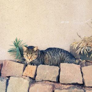 Auf einer Mauer aus Kopfsteinpflastersteinen ruht eine melierte Katze vor einem Wolfsmilchgewächs