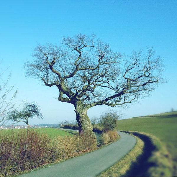 Kahler, weit auskragender, uralter Eichenbaum auf winterlichem Feld unter blauem Himmel