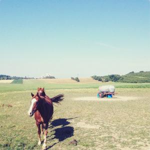 Ein rotbraunes Pferd galoppiert auf den Betrachter zu. Blassblauer Himmel über vertrockneter Weide.