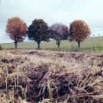 in Reih und Glied stehen vier junge Kastanienbäume vor einem Strohacker. Das Bild hat eine herbstlich blass-braune Stimmung