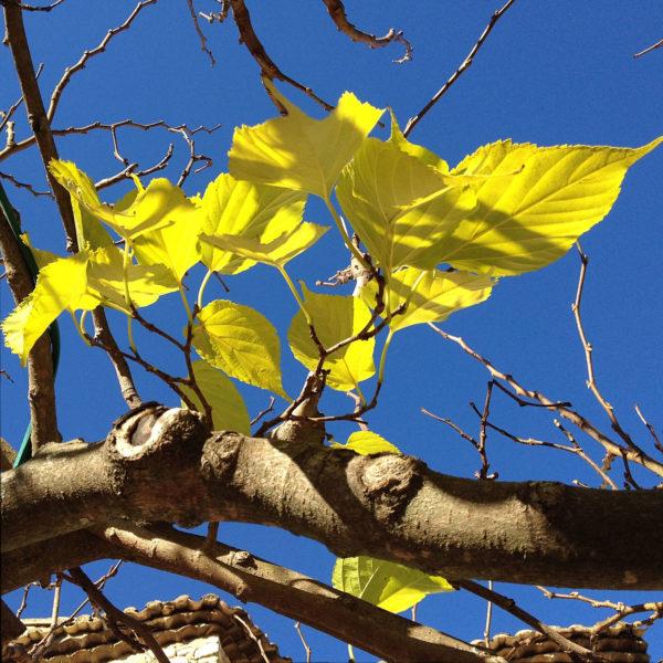 Detailaufnahme eines gelblich grünen Blattwerks an silberfarbenem Ast gegen dunkelblauen Himmel.