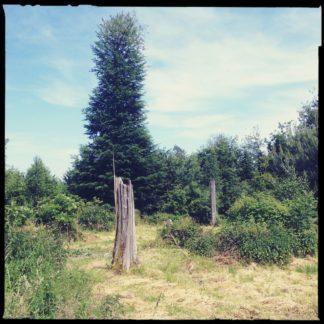 Ein gesplitterter Baumstumpf steht perspektivisch täuschend vor einem Nadelbaum, der widerum vor einem noch höheren Laubbaum steht. Urwüchsiger Wald mit kleiner Lichtung vor milchigem Himmel.