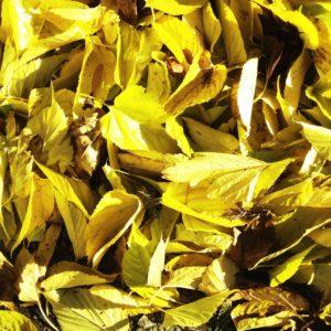 Gelbgrüne Blätter in Massen. Sonst nichts.