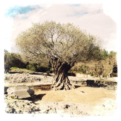 Knorziger alter Olivenbaum in mediterraner Landschaft. Fehlfarbenbild, das monochrom bräunlich grünlich eine gewisse Dürre suggeriert.
