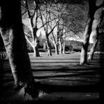 Schwarz-weiß-Bild großer Platanen, die lange Schatten auf eine Teerfläche werfen.