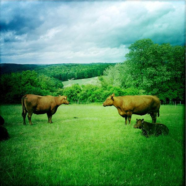 Zwei Kühe und ein Kälbchen im Profil