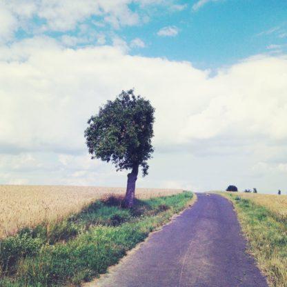 Ein Apfelbaum an einem schmalen Teerweg zwischen abgeernteten Feldern steht auf einem Streifen Grün. Die kugelförmige Baumkrone ist an der Feldwegseite gerade wie abrasiert, so dass die Krone halbkugelförmig verstümmelt ist. Hellblauer Himmel mit weißen Wolken.