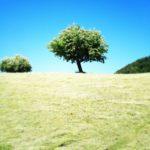 Großer Obstbaum mit runder Krone in einem Gesternfeld