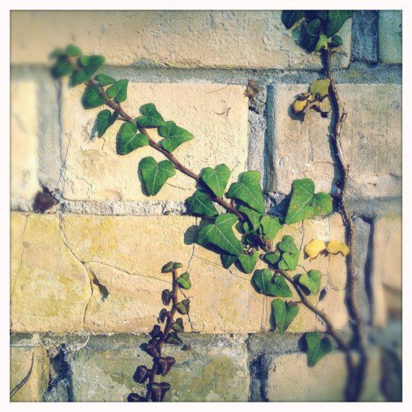 Sichtmauerwerk aus gelben Backsteinen mit grauen Fugen, das schräg von rechts unten nach links oben von einem Efeuzweig vereinnahmt wird. In der Nahaufnahme sieht man nur wenige Backsteine und gut ein Duzend Blätter und ein paar Schatten anderer Zweige.