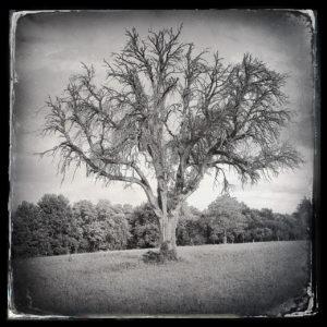 Ein Vintage-schwarz-weiß-Bild eines prächtigen Baums mit großer, laubloser Krone.