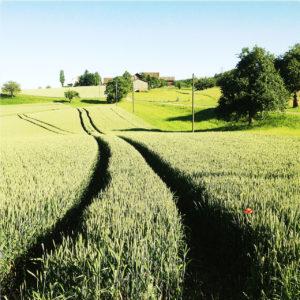 Wie zwei tiefe Schluchten wirken die Spuren der Landmaschine, die durchs hohe, gerade noch grüne Getreide über welliges Land zu einem mit einzelnen Bäumen und Büschen bewachsenen Horizont hinführen.
