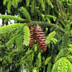 Im vollflächig grün strukturierten Nahbild eines Nadelbaums hängen zwei miteinander verwachsene Zapfen.