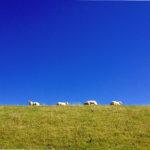 Zwei Drittel des Bildes sind tiefblauer Himmel, darunter eine scharfe Horizontlinie gen grüne Wiese, auf der einige Schafe im Profil grasen.