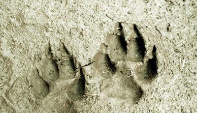 Monochrom grau, Sand, in dem zwei Tiertazenabdrücke nebeneinander liegen. Deutlich sieht man die Fußballen und je vier Zehenabdrücke mit spitzen Krallen. Schatten fällt von rechts in die Mulden der Abdrücke.