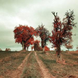 Ein herbstlicher Feldweg führt schnurgerade zwischen Obstbäumen hindurch, deren Laub in leuchtend rötlich bräunlichen Tönen schimmert.