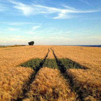 In einem fast reifen Getreidefeld führt eine Traktorspur mit tiefen Furchen durchs Korn auf den Horizont hin. Mittendrin befindet sich ein rechteckiges Stück Land, auf dem das getreide noch grün ist und sich deutlich vom Rest des Bewuchses unterscheidet.