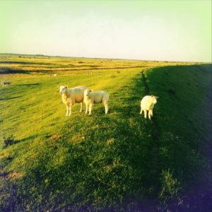 Von links mit Sonne beschienener Deich mit drei Schafen, rechts Schattenwurf des Deichs.