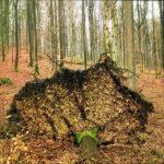 In Richtung des Betrachters gestürzter Nadelbaum mit großer Wurzelscheibe, die senkrecht ins Blickfeld ragt und gut die untere Hälfte des Bilds mitten in einem vernebelten Nadelwald einnimmt.