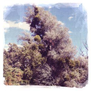 Vor blassblauem Himmel mit Quellwolken ragt ein Auenbaum, vielleicht eine Pappel in die Höhe. Blick etwas nach oben, so dass man nur die quillende, belaubte Krone sieht und niedrigere Baumspitzen neben dem hohen Auenbaum.