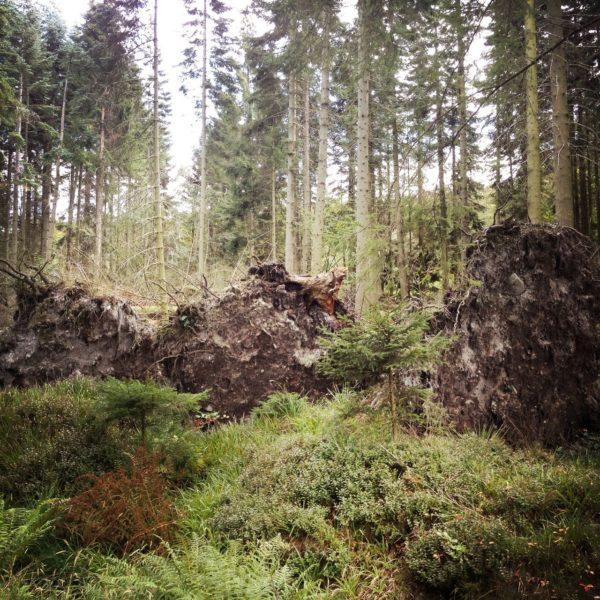 Dichter Wald, in dem sich eine wilde Lücke umgestürzter Bäume befindet, deren Wurzelscheiben die Mitte des Bildes dominieren.