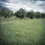 Grünes Bild mit in Reih und Glied stehenden Hollunderbäumen