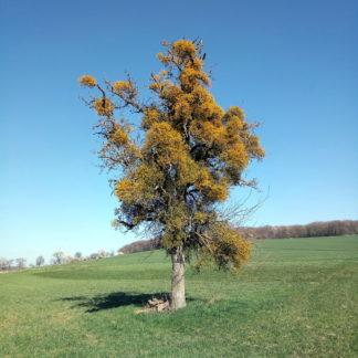 Einzelner großer Obstbaum voller gelblich grün scheinender Misteln auf gewundenem Hügel unter blauem Himmel.
