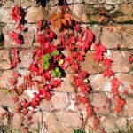 Gezacktes, rotes Laub rankt an rötlicher Sandsteinmauer. Einige grüne Blätter garnieren die Szene.
