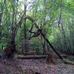 Offenbar durch Windbruch wurde der noch lebende Baum nach unten zu Boden gebogen und bildet einen natürlichen, etwa drei Meter hohen Bogen im frühen, noch lichten Frühlingswald.