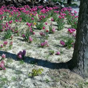 Aufkeimende lila Tulprn in grauem, erdigem Vorgarten. Der rechte Bildrand wird von einem borkigen Baumstamm akzentuiert. Sein Schatten steht quer durch den Garten.