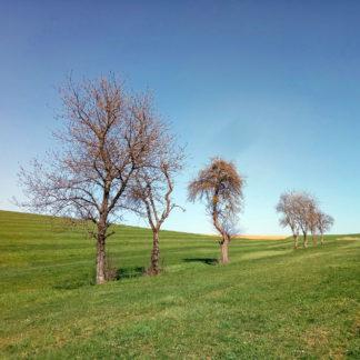 Vorfrühlingshafte Streuobstbäumchenzeile auf geschwungener, kurz gemähter Wiese unter makellos blauem Himmel.
