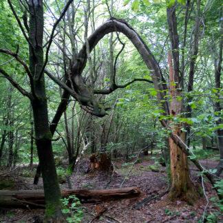 Ein verwilfderter Wald mit Holzbruch. von rechts unten biegt sich ein etwa 30 cm dicker Stamm in hohem Bogen zur linken Bildseite. Das Laub ist licht und frühlingsgrün.