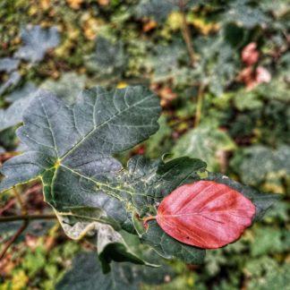 Draufsicht auf Blätter in einer Pfütze. Eines sticht heraus. Es ist rot und glänzt. Vielleicht Buche?